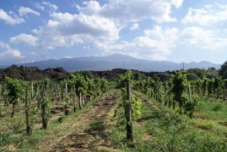 Winnica Nerello Mascalese na północnym stoku Etny.